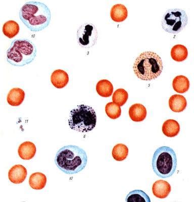 лейкоцитарная формула у ребенка