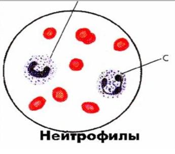 Нейтрофилез