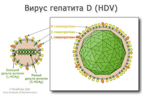 Расшифровка анализа на гепатит а